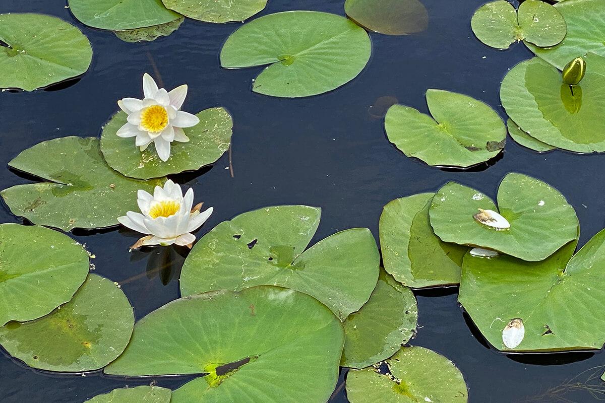 Lotus op het water