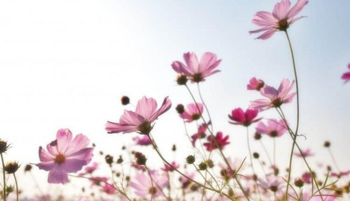 pink-flower-field-158756